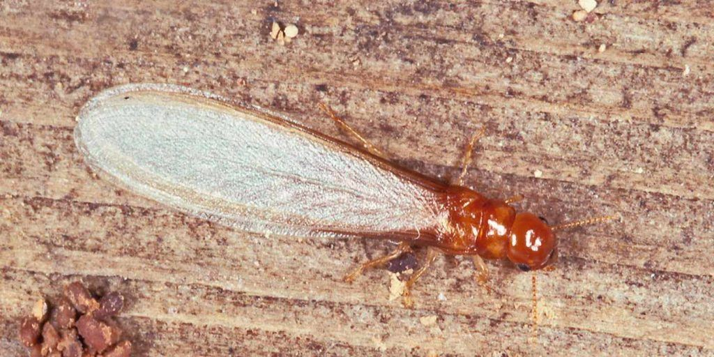 Winged Drywood Termite